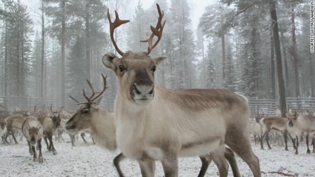 12766_8a741_121204045725-christmas-rovaniemi-reindeer-horizontal-gallery