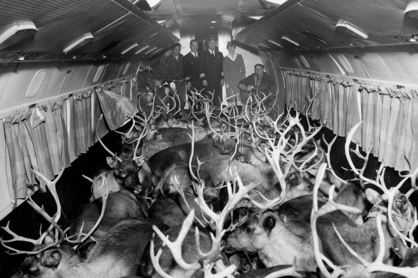 Reindeer aboard Wein Alaska Airlines with flight crew and herders