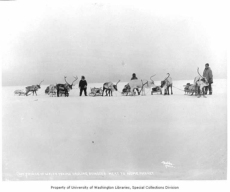 Hauling reindeer meat from Cape Prince of Wales to market in Nome