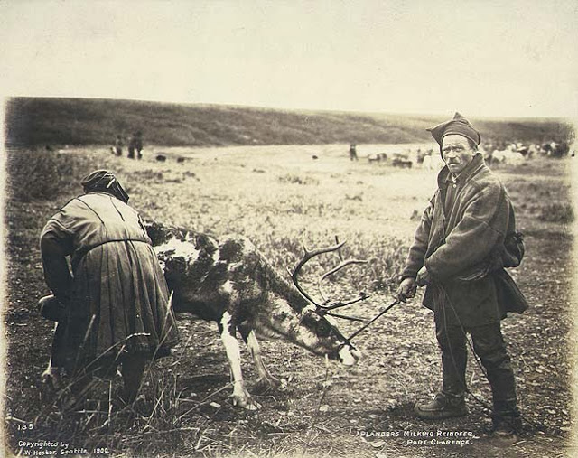 """""""Laplanders milking reindeer at Port Clarence, Alaska, 1900."""" """"Shows a man and a woman in traditional dress.""""Photographer Hegg, Eric A."""