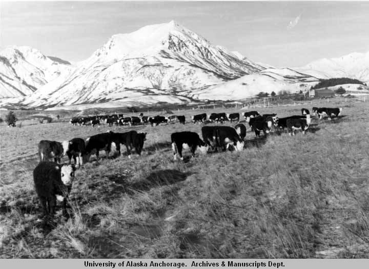 Cattle on Kodiak Island - 1939
