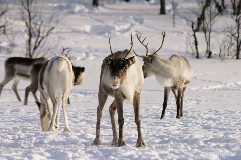 reindeer-in-paadarskaidi-in-th